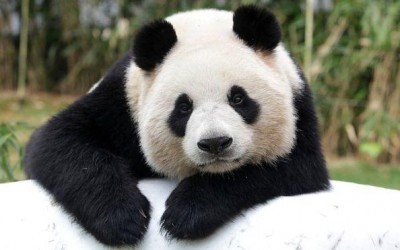 Panda's aren't just cute and cuddly! Click for our special offer.